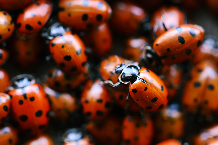 Ladybug Superstition Burial Day Books